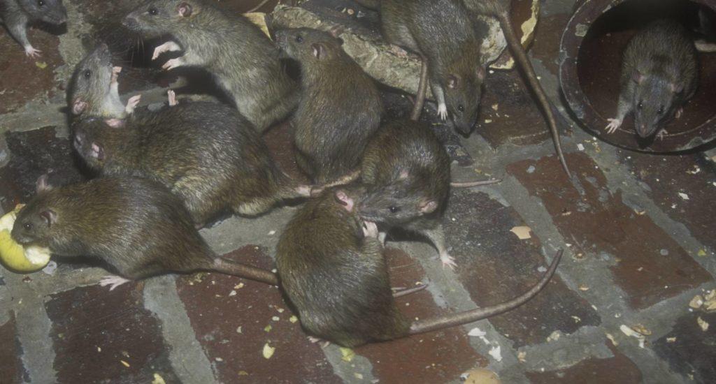 уничтожение крыс в Чебаркуле